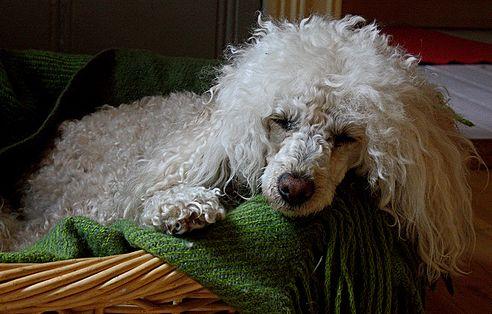 kutya, ízületi gyulladás, mozgás