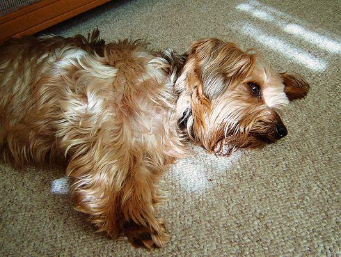 kutya, arthritis, betegség