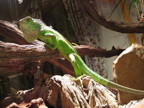 leguán, iguana, terrárium
