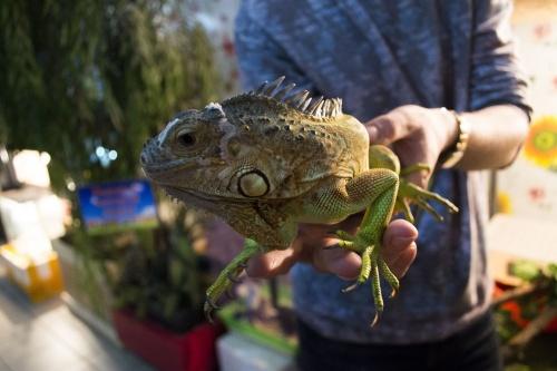 iguana-2548719_1920