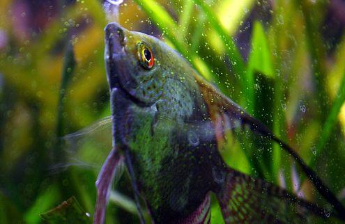 akvárium, hal, megfázás