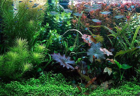 akvárium, növény, halak