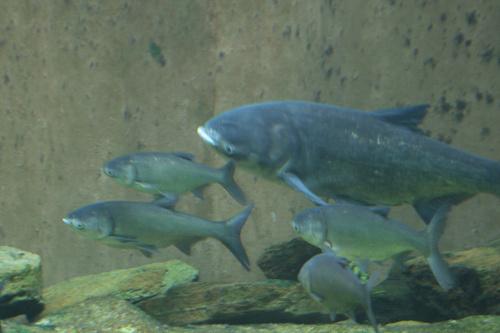 Halacskák az akváriumban