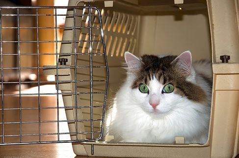 macska, bőrönd, hordozó