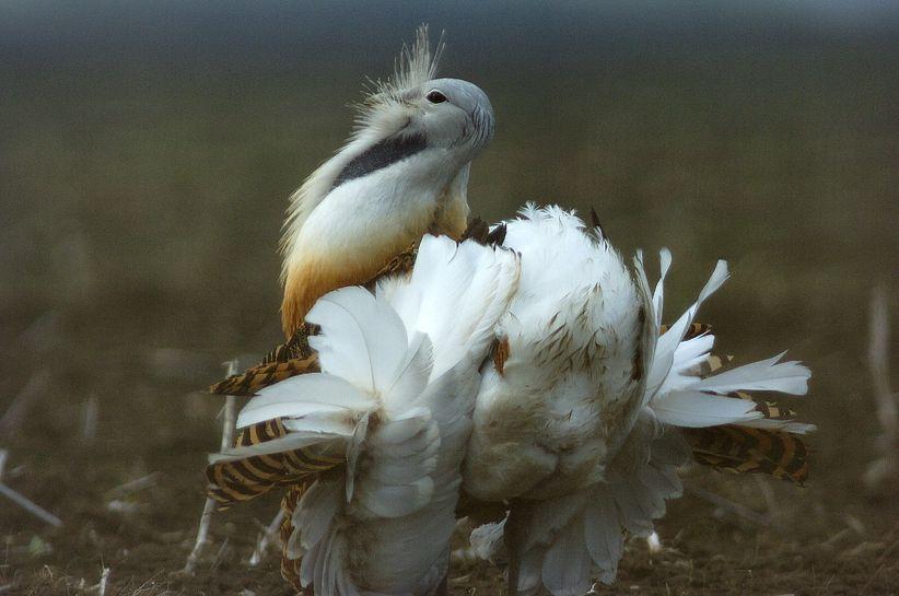 túzokok, túzok, madár