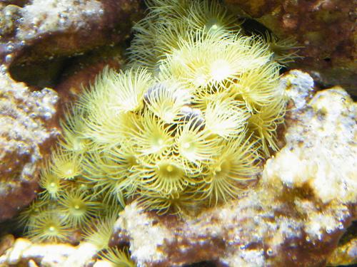 sarga-korall