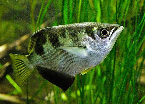 akvárium, íjászhal, díszhal