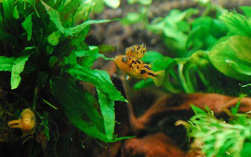 akvárium, gömbhal, halak