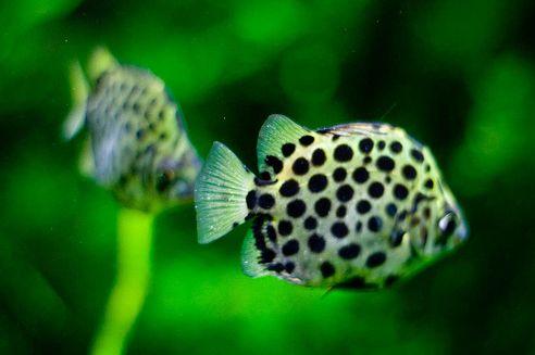 halak, árgushal, akvarisztika