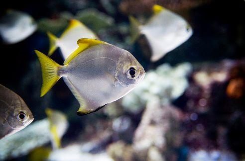 hal, holdhal, tengeri akvárium