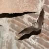 Veszélyben a védett sarlósfecske és a denevér