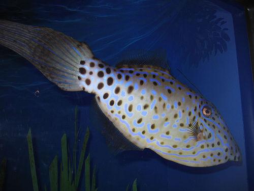 Pöttyös hal
