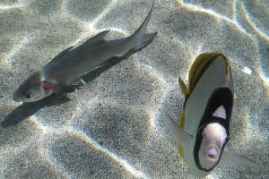 Gyomor-és bélrendszeri gyulladás halaknál