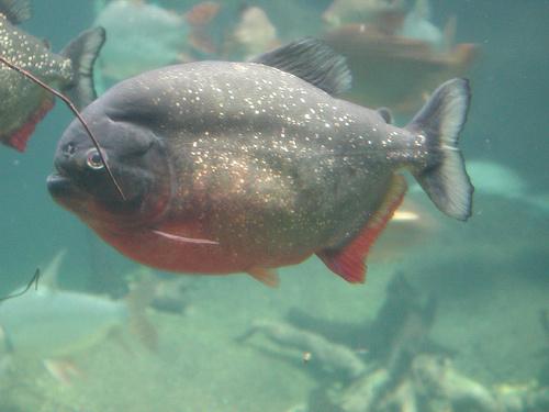 Nagyhasú hal