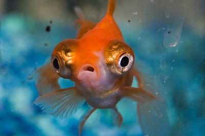 nagyszemu-hal