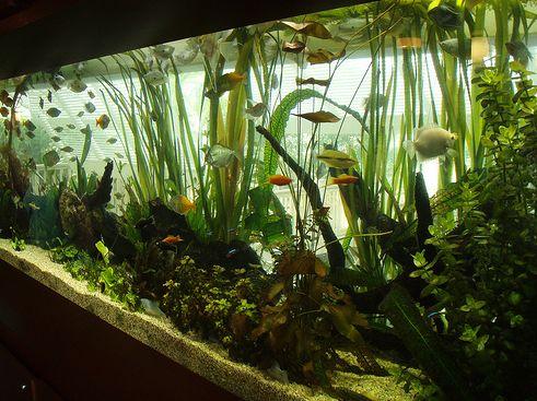 akvárium, halak, díszhal