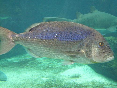 Kékes hal