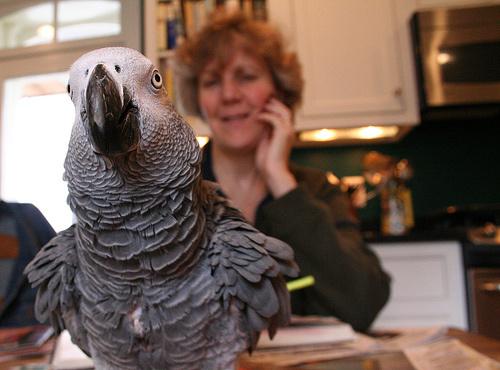 afrikai-szurke-papagaj