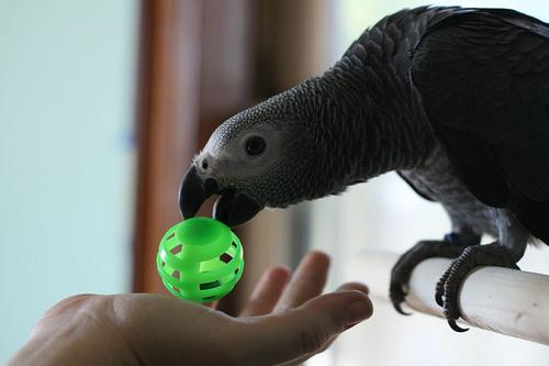 papagaj-jatszik