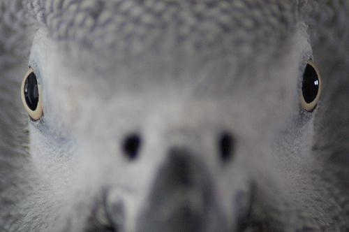 papagaj-szem