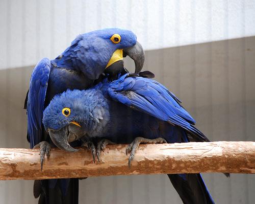 papagaj-barat