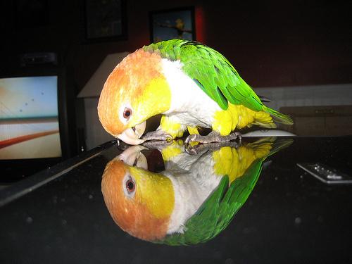 papagaj-kep