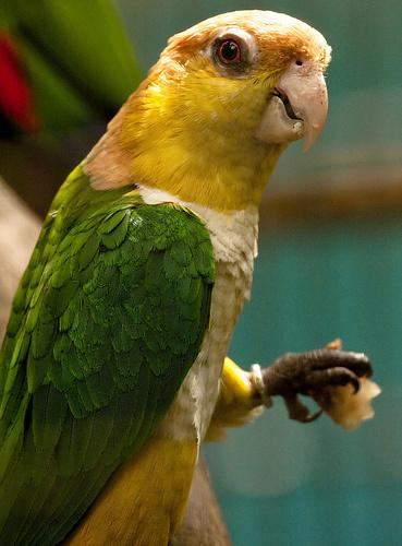 papagaj-lab