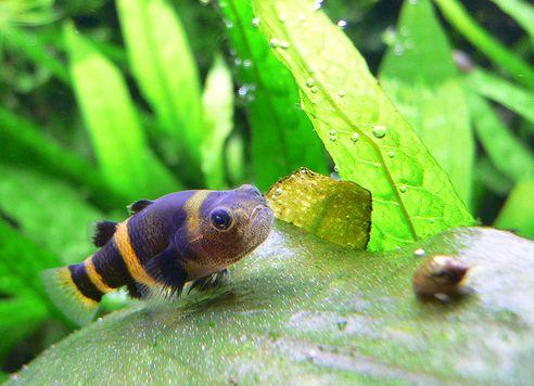 akvárium, halak, darázsgéb