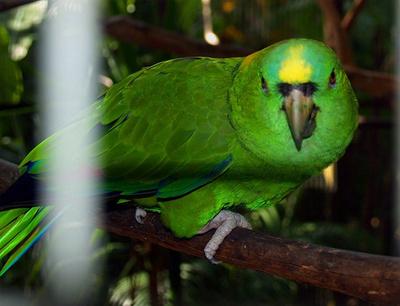 erdeklodo-papagaj