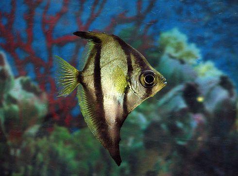 Vitorlaszárnyú holdhal, hal, akvárium