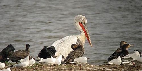 pelikán, madarak, gödény