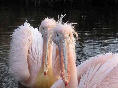 pelikán, gödény, rózsás
