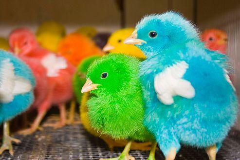 húsvét, kiscsibe, csirke