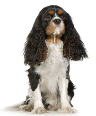 spániel, kutya, kutyafajták