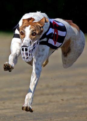 kutya, agár, verseny