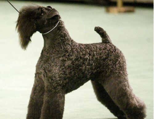 Kerry Blue terrier, terrier, kutya