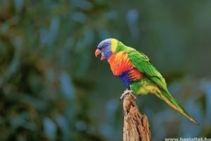 A papagáj hangoskodásának, rikácsolásának okai