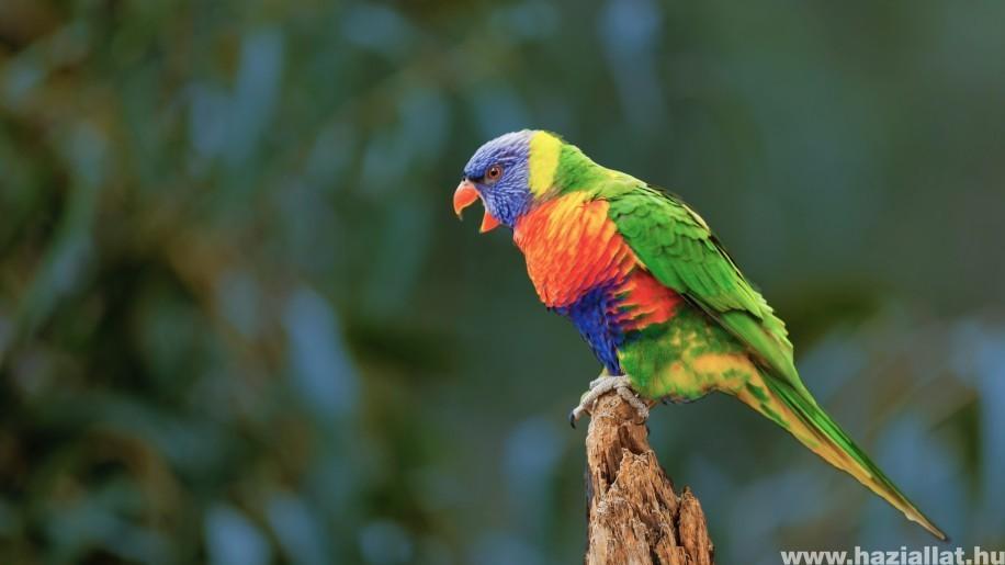 Miért rikácsol egész nap a papagáj?