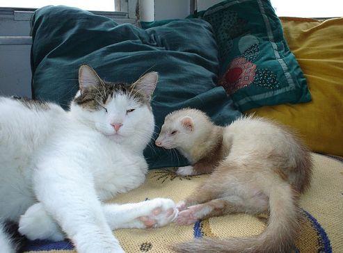 görény, macska, cica