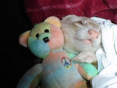 görény, vadászgörény, alszik