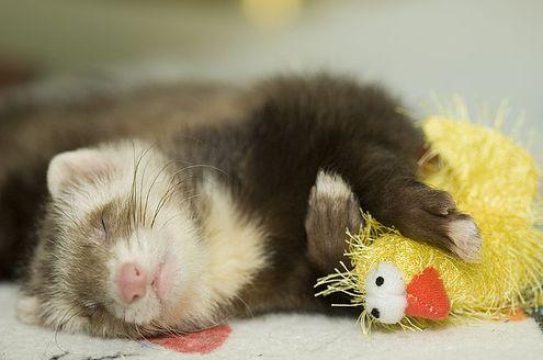 álom, alom, görény
