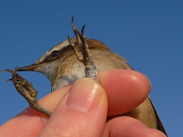 madár, madarak, fülemüle