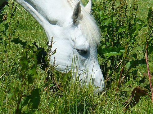 ló, legel, fű