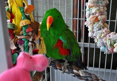 papagáj, madár, kalitka