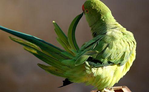 madár, papagáj, jutalmazás