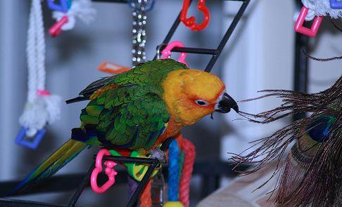 papagáj, játék, kalitka