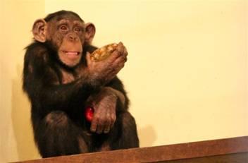 majom, csimpánz, állatkert