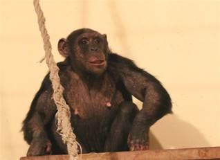 majom, csimpánz