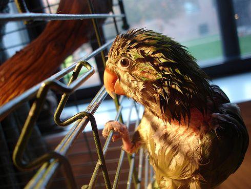 madár, betegség, kalitka