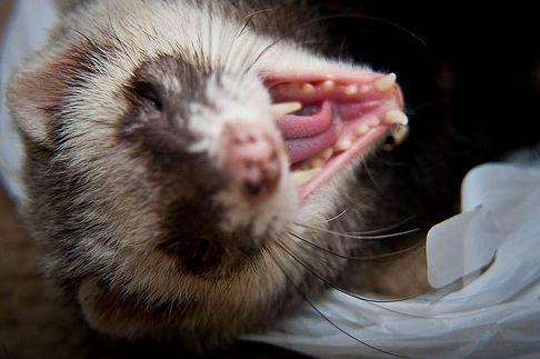 görény, fogászat, fogak